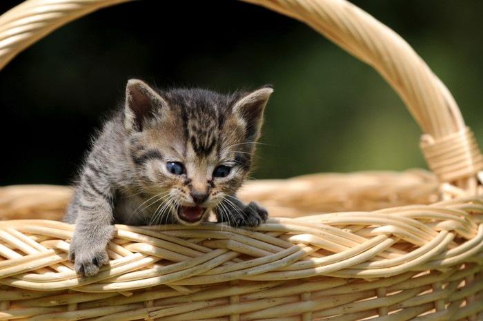 かごから出ようとする子猫