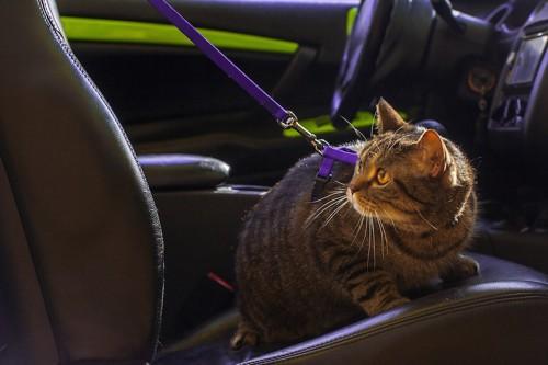 ハーネスをして車にのる猫