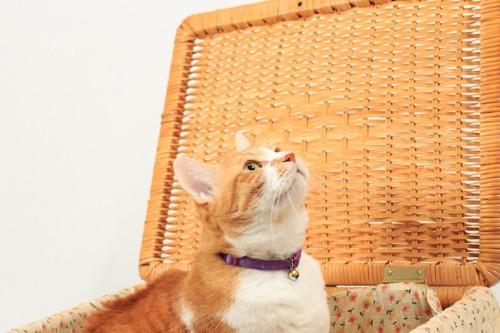 バスケットの中から上を見上げる猫