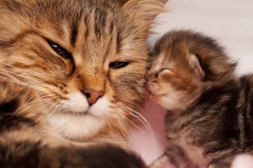 母猫にチューする子猫