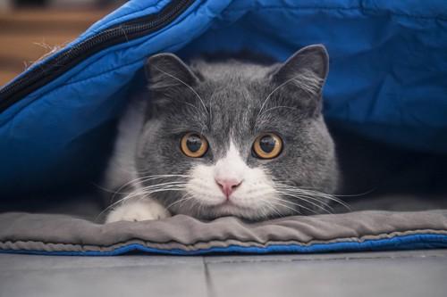 寝袋に入る猫