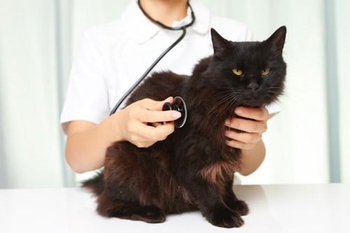 聴診を受ける猫