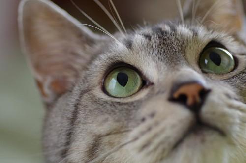 見上げる猫の目元のアップ