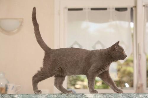テーブルの上を歩くグレーの猫