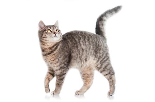 片手を上げて歩く猫