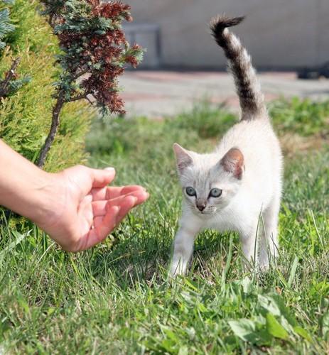 尻尾を立てて歩く白い子猫