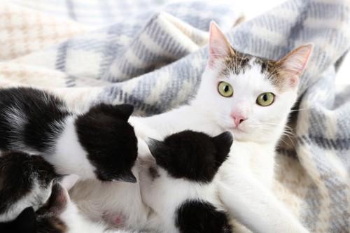 子猫たちに授乳するママ猫