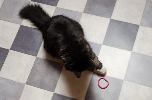 ヘアゴムを見る猫