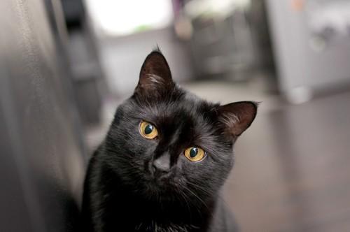 毛並みがツヤツヤな黒猫