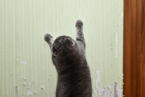 壁で爪を研ぐ猫