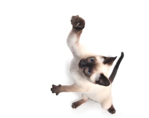 ジャンプするシャム猫