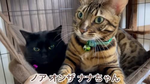 黒猫の上に乗るベンガル