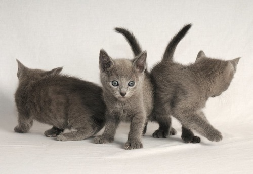 お尻をくっつけている三匹のロシアンブルーの子猫