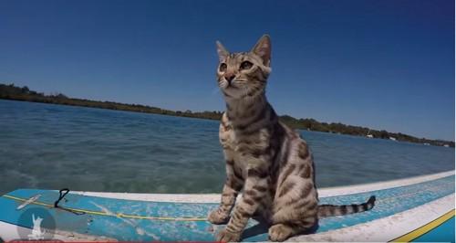 サーフィンボードに乗る猫