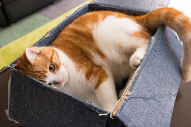 段ボールに入っている猫