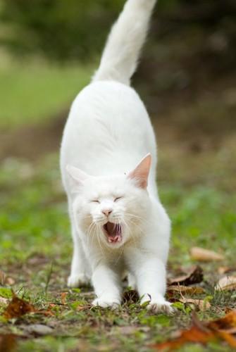 伸びをしながらあくびをする猫