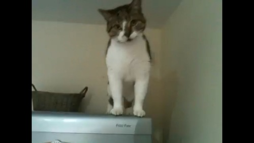 冷蔵庫の上に猫