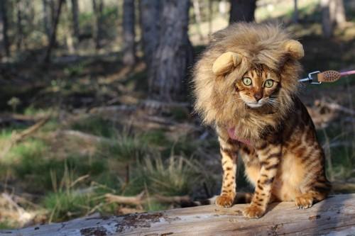 ライオンになった猫