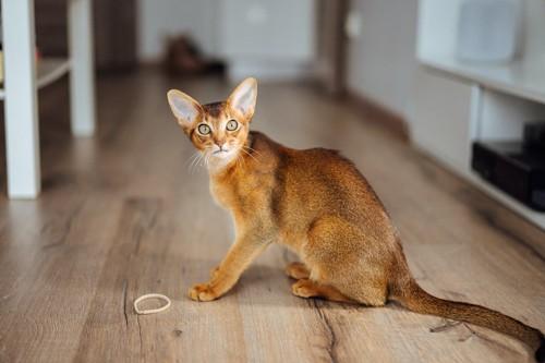 ゴムを前にして座っている猫