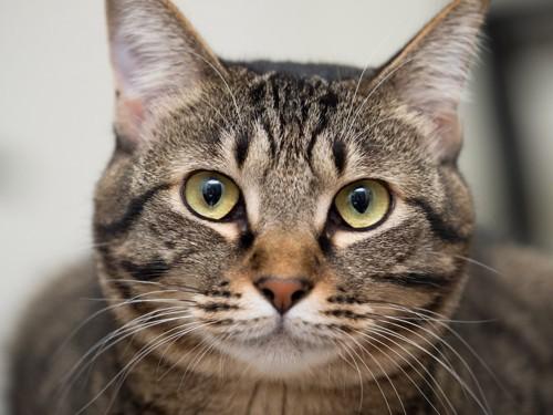 こちらを見る猫の顏のアップ