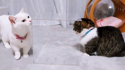透明な箱のニオイを嗅ぐ2匹の猫