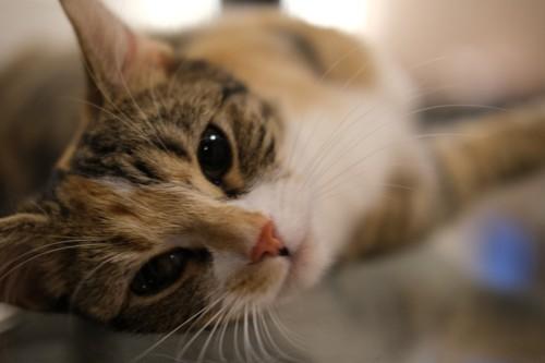 上目使いの猫