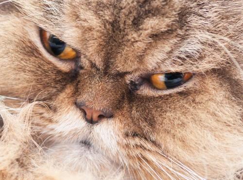 怒った猫の顔アップ