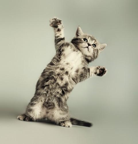 両手を広げて立つ子猫
