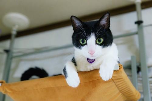 キャットタワーの上から見下ろす白黒ハチワレ猫