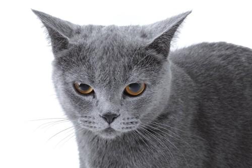 嫌そうな表情をした灰色の猫