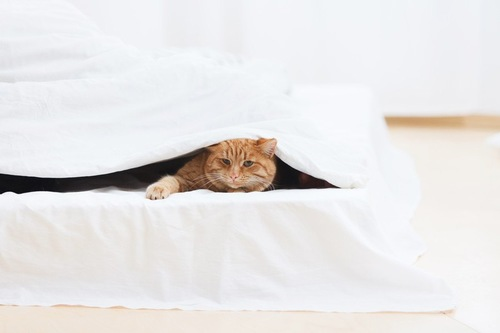 ベッドの中の猫