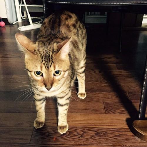 フローリングで4本足で立つ猫