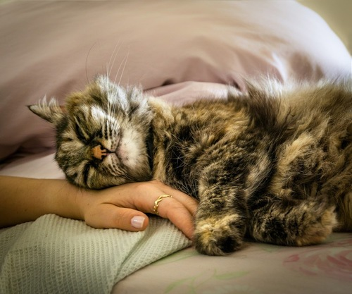 人の手にすり寄る猫