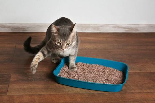 トイレの砂に片足を突っ込む目つきの悪い猫