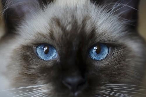 青色をした猫の目アップ