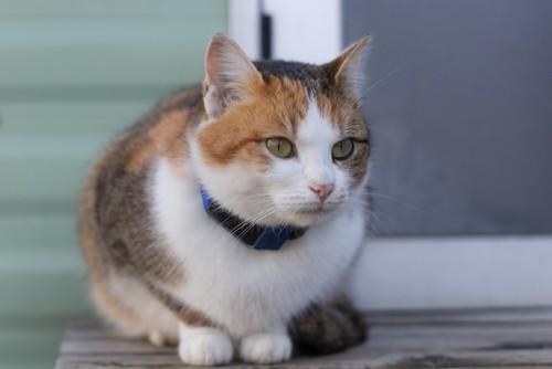 首輪にGPSをつけたミケ猫