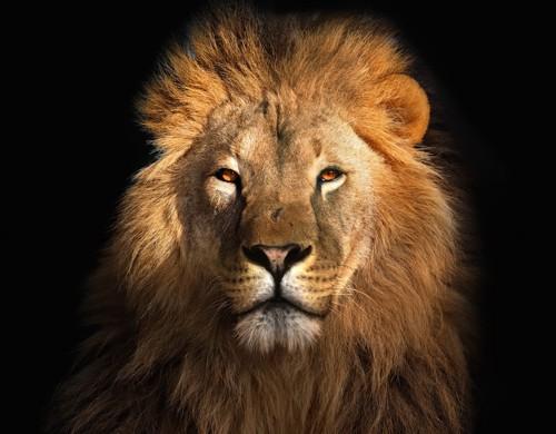 タテガミがかっこいいライオン