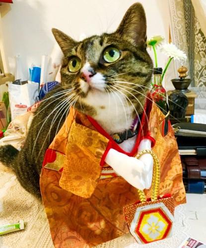 着物で女の子らしくした猫