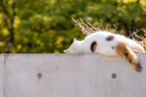 塀の上のギリギリで眠る猫