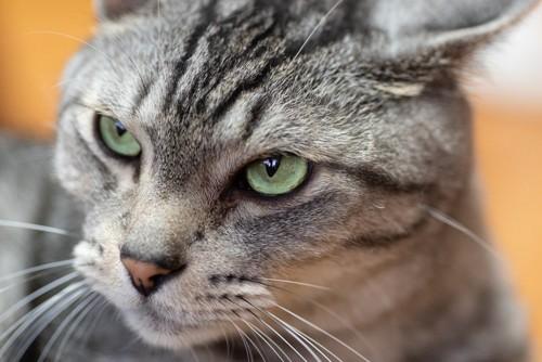 鋭い目つきのサバトラ猫の顔