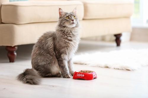 餌を前に座る猫