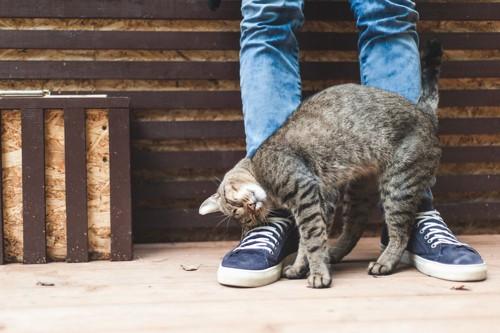 立つ人の足に尻尾と身体でスリスリする猫