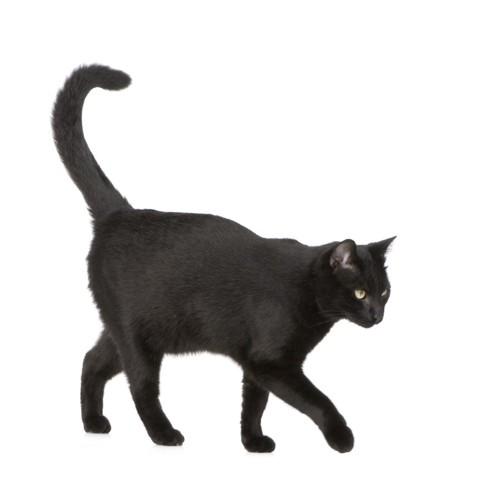 先が曲がっている猫