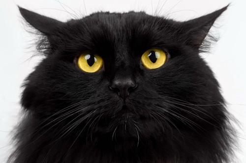 長い毛の黒猫
