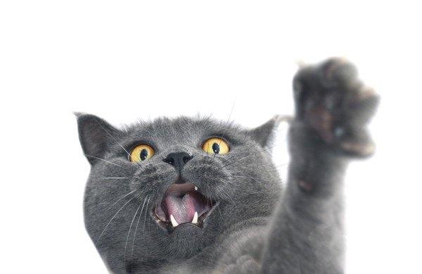 手を挙げて怒る灰色の猫
