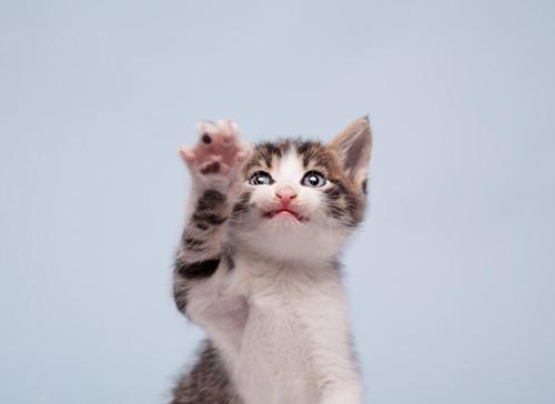 片手を上げる猫