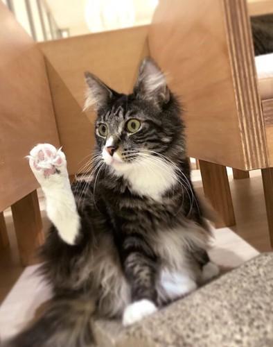 モフアニマルカフェ猫スタッフ後足をあげている猫