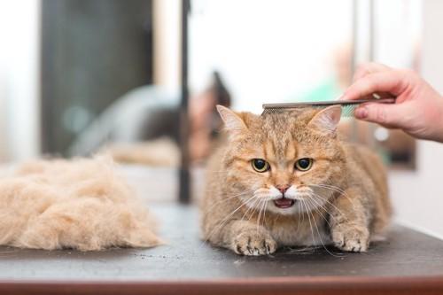 コームでケアされている猫と抜け毛