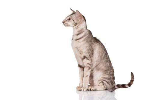 きれいな横顔の猫