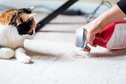 粗相を掃除する飼い主を見る猫